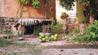 Bunches of coconuts on a ground video