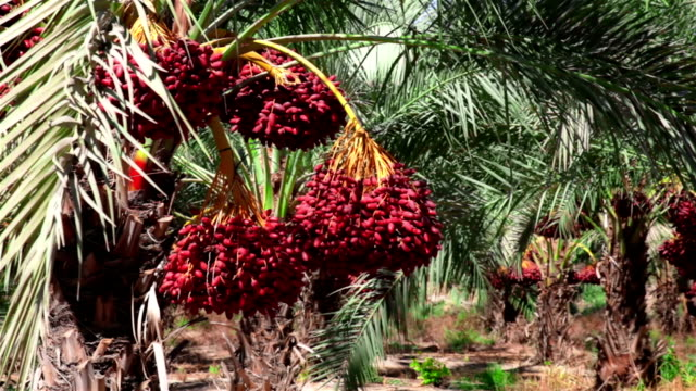 Bunches of dates. Close up video