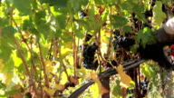 HD DOLLY: Bunches of grapes. Grape harvest video