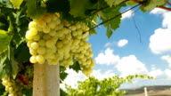 Bunches of Muscat White Grapes video
