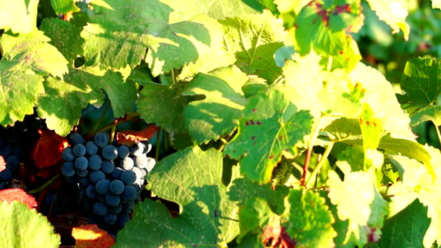 Bunches of Red Grapes Hanging in Vineyard video