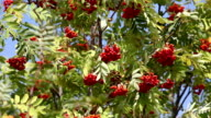 bunches of red rowan swaying video