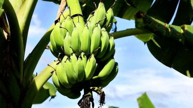 Bundle of bananas video