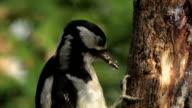 Buntspecht - Great Spotted Woodpecker - Dendrocopos major video