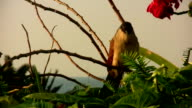 Burchell's Coucal South Africa Natal video