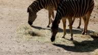 Burchell's zebra (Equus quagga burchellii) eat hay. video