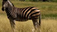 Burchell's Zebra video