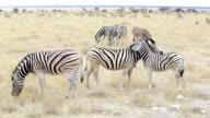 Burchell's zebra with foal nibbling fur video