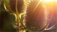 Burdock at the autumn afternoon sun. Very close video
