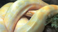 Burmese python moving head under its own body video