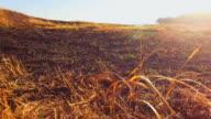 Burnt Grass Damaged By Fire At Scythian Naples, Crimea video
