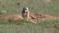 Burrowing owl eats grass burrow mound Denver Colorado HD video video