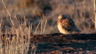 Burrowing owl fluffs feathers on burrow Monticello Utah video