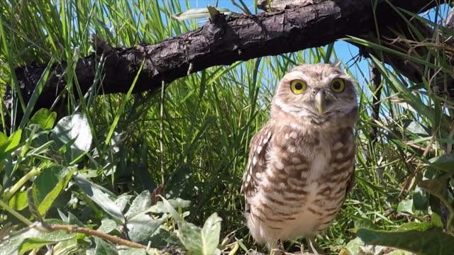 Burrowing Owl video