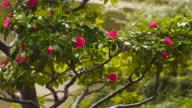 Bush camellia in the rain video