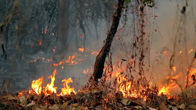 Bush fire in tropical forest video