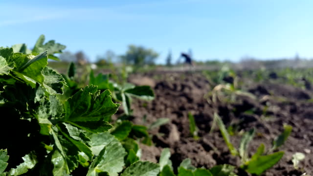 bush of parsley and in the background a person cultivates the earth video