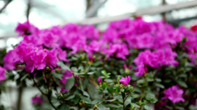 Bush With Lots of Purple Azaleas of Flowers on a Background of Overlapping and   Greenhouses Windows video