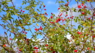 bush with ripe rose hips video