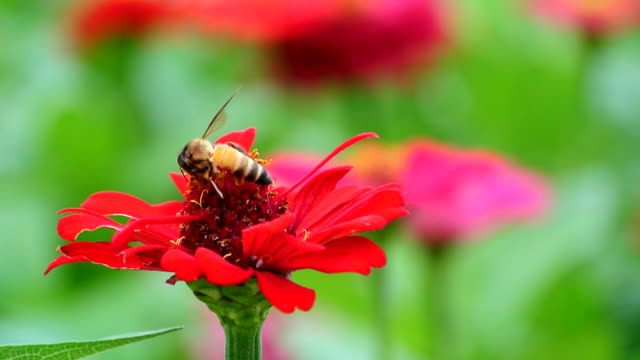 Busy bee in red video