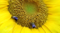 Busy Bees on Sunflower video