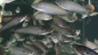 Buter Catfish in the water video