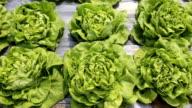 Butter head Lettuce vegetable in farm video
