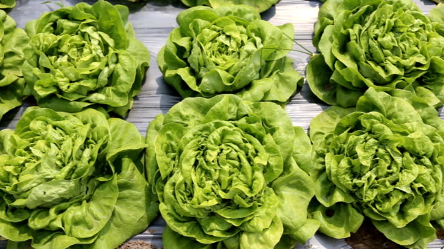 Butter head Lettuce vegetable in farm video