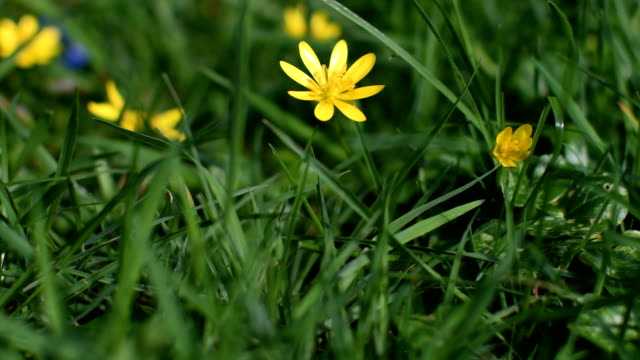 Buttercup flower moving in wind video