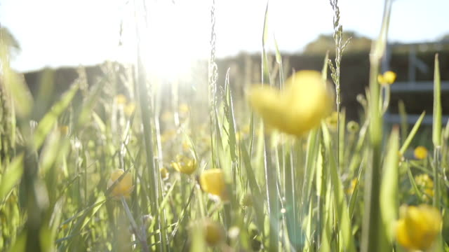 Buttercup Meadow At Sunset video