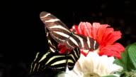 Butterfles Closeup video