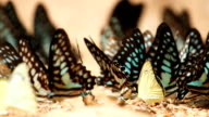 Butterflies are eat mineral on the ground, Select focus. video