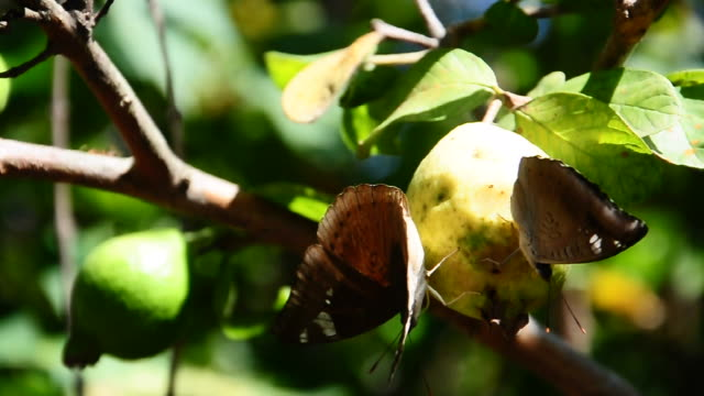 Butterflies are nibbling ripe guava video