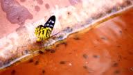 Butterflies drinking water video