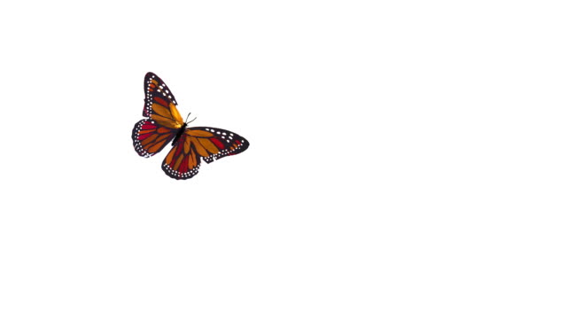 Butterflies Flying video