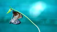 Butterflies mating video