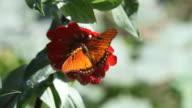 butterfly 06 video