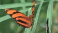 Butterfly 36 - HD 1080/60i video