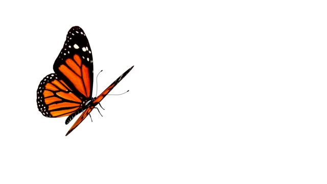 Butterfly animation. Loop. video