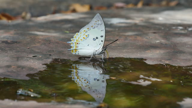 Butterfly (Jewelled Nawab) are eat mineral on the ground. video