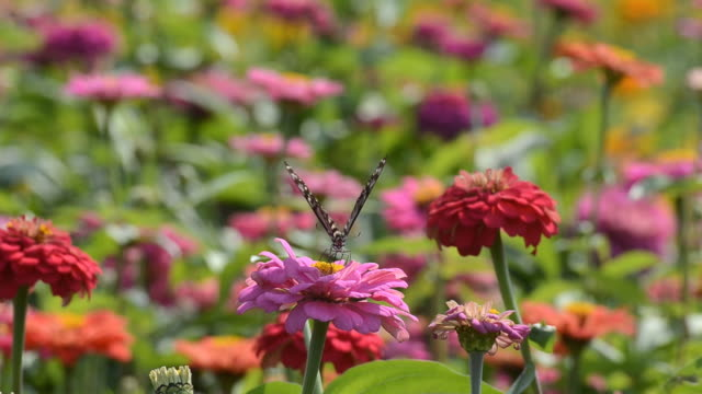 Butterfly at colorful Chrysanthemum field video