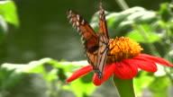 Butterfly Closeup video