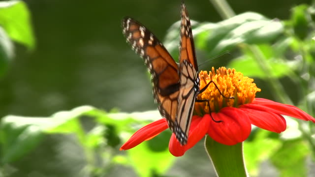 Butterfly Closeup video