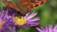 SLOW MOTION: Butterfly Closeup video