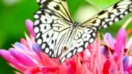 Butterfly Drinking from Tropical Flower, Macro Closeup video