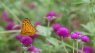 butterfly drinking nectar from Bachalor's Button flower video