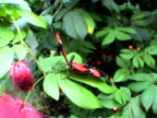 Butterfly eating (Heliconius erato) video