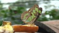 Butterfly feeding on orange slice video