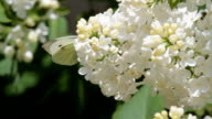 Butterfly feeding on white lilac flowers video