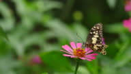 Butterfly feeding on zinnia. video